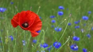 poppy-50590_640